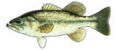 bass (the fish)